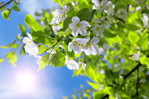 branch blossom apple tree and blue sky with sun
